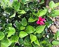 Hibiscus fragilis at Vallee dOosterlog.jpg