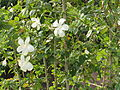 Hibiscus in rajbiraj(10).JPG