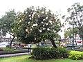 Hibiscus schizopetalus 6zz.jpg