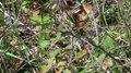 File:Hierophis viridiflavus-2012-10-16.webm