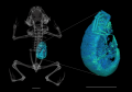 High-resolution CT scan of paratype of Brachycephalus curupira.png
