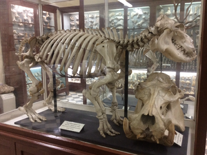 Hippopotamidae - Hippopotamus skeleton at Għar Dalam