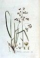 Holcus odoratus — Flora Batava — Volume v3.jpg