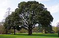 Holm oak - quercus ilex - Kew Gardens.jpg