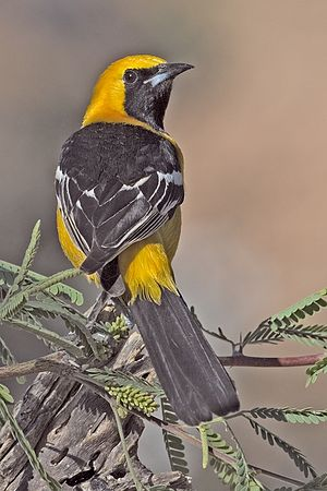 Hooded oriole - Image: Hooded Oriole