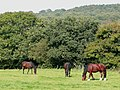 Horses grazing near the River Stour, Staffordshire - geograph.org.uk - 975907.jpg