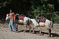 Horses with Caretaker - Naldehra 2014-05-08 1809.JPG