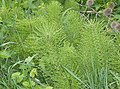 Horsetail - geograph.org.uk - 438186.jpg