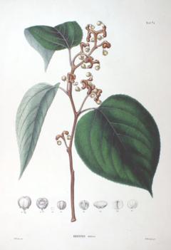 クロウメモドキ科 - Wikipedia