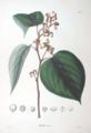Hovenia dulcis SZ74.png