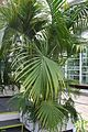Howeia Forsteriana (1) (11983320994).jpg