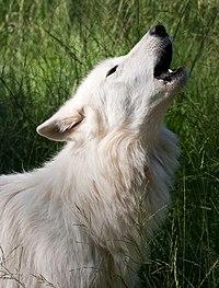 Srd Wolf
