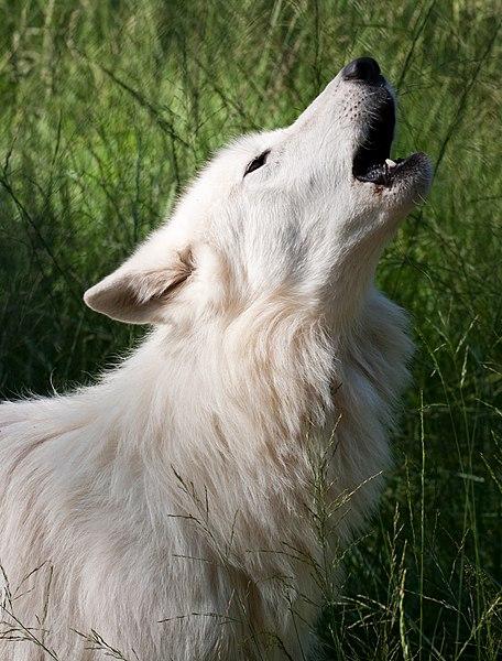 File:Howling White Wolf.jpg