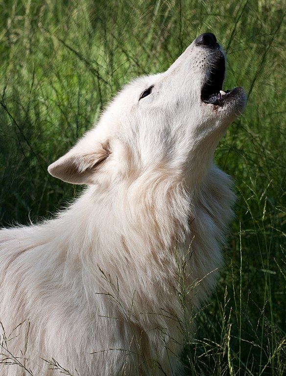 White Wolf howling