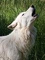 Howling White Wolf.jpg