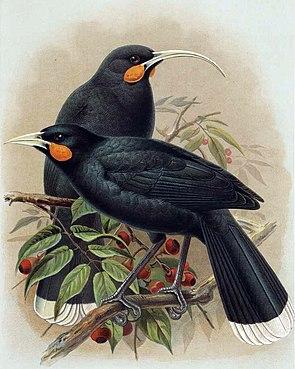 Huia (Heteralocha acutirostris) †Illustration John Gerrard Keulemans, aus A History of the Birds of New Zealand, 1905