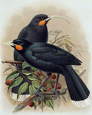 Huia (Heteralocha acutirostris) †Illustration John Gerrard Keulemans, aus A History of the Birds of New Zealand, 1905