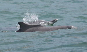 Humpback dolphin - Humpback dolphins surfacing for air