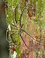 Huntsman Spider (Heteropoda boiei) (23128661669).jpg