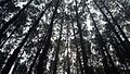 Hutan Pinus Imogiri.jpg
