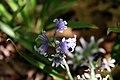 Hyacinthoides hispanica 2zz.jpg