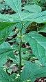 Hybanthus concolor 0602181446e.jpg