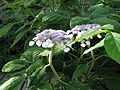 Hydrangea aspera villosa (14485080930).jpg