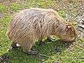 Hydrochoerus hydrochaeris -Detroit Zoo, Michigan, USA-8a (2).jpg