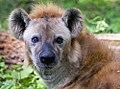Hyena (14684108633).jpg