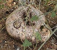 Ibervillea tenuisecta 01 ies.jpg