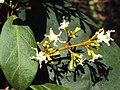 Ichnocarpus frutescens 27.JPG