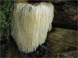 гриб львиная грива как приготовить