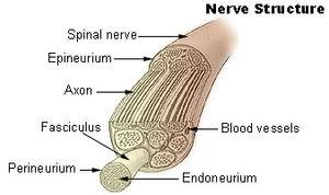 Nerve fascicle - Nerve structure