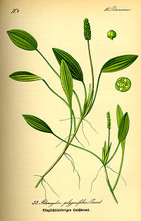 Illustration Potamogeton polygonifolius0.jpg