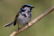Immature male superb fairy wren moulting.jpg
