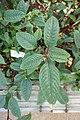 Impatiens hians-Jardin botanique Jean-Marie Pelt (3).jpg