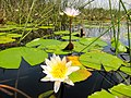 In de Okovango Delta.. Miljoenen witte lelies! (6558964153).jpg
