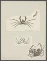 Inachus scorpio - - Print - Iconographia Zoologica - Special Collections University of Amsterdam - UBAINV0274 095 19 0005.tif
