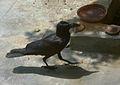 Indian Jungle Crow (Corvus culminatus) at Madhurawada 01.JPG