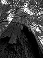 Injured tree 4 (B&W) (2913616198).jpg