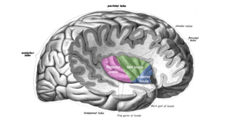 Interoception - This image divides the insula into its anterior, mid, and posterior regions, with each being denoted by different colors.