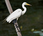 Intermediate Egret (Mesophoyx intermedia) in Hyderabad W IMG 8406.jpg