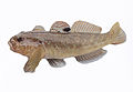 Invasive fish the round goby also in art a nice fish.jpg
