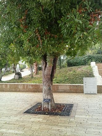 Righteous Among the Nations - Memorial tree in Jerusalem, Israel honoring Irena Sendler, a Polish Roman Catholic nurse who saved 2,500 Jews when it was forbidden