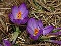 Iridaceae - Crocus napolitanus (8304615792).jpg