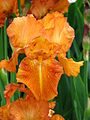 Iris 'Autumn Leaves' 02.JPG
