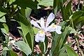 Iris cristata 14zz.jpg