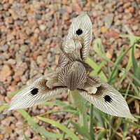 Iris acutiloba ssp. lineolata