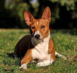 Raza de perros basenji necesita ejercicio diario