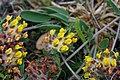 Isländsk getväppling - Anthyllis vulneraria ssp. borealis0121 - Flickr - Ragnhild & Neil Crawford.jpg